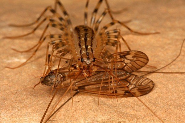 Насекомое сороконожка – опасно ли соседство человека и обыкновенной мухоловки? Чем опасна домашняя сколопендра для человека: стоит ли бояться.