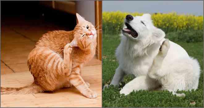 Опасны для человека кошачьи блохи или нет